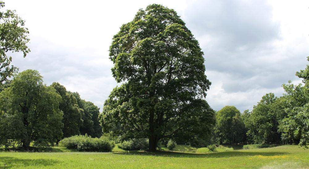 Prachtvoller Baum im Brandts Park