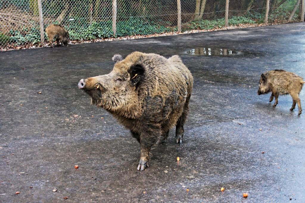 Wildschwein im Grafenberger Wald