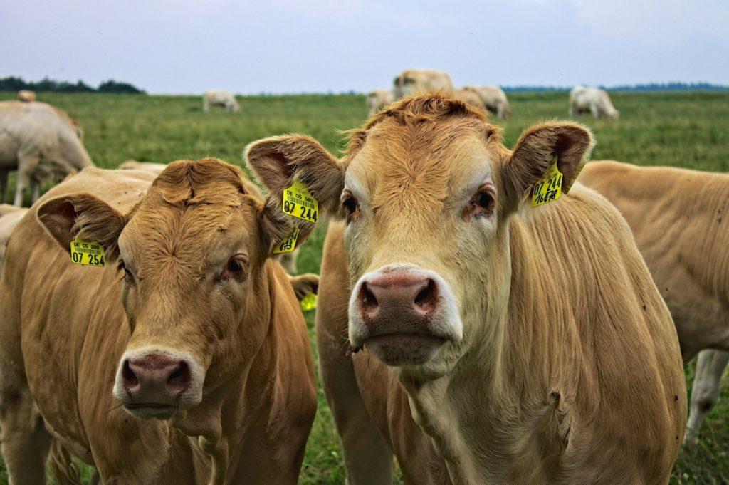 Kühe in der Eifel