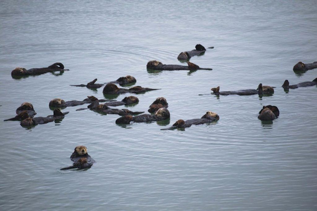 Otter am Highway 1