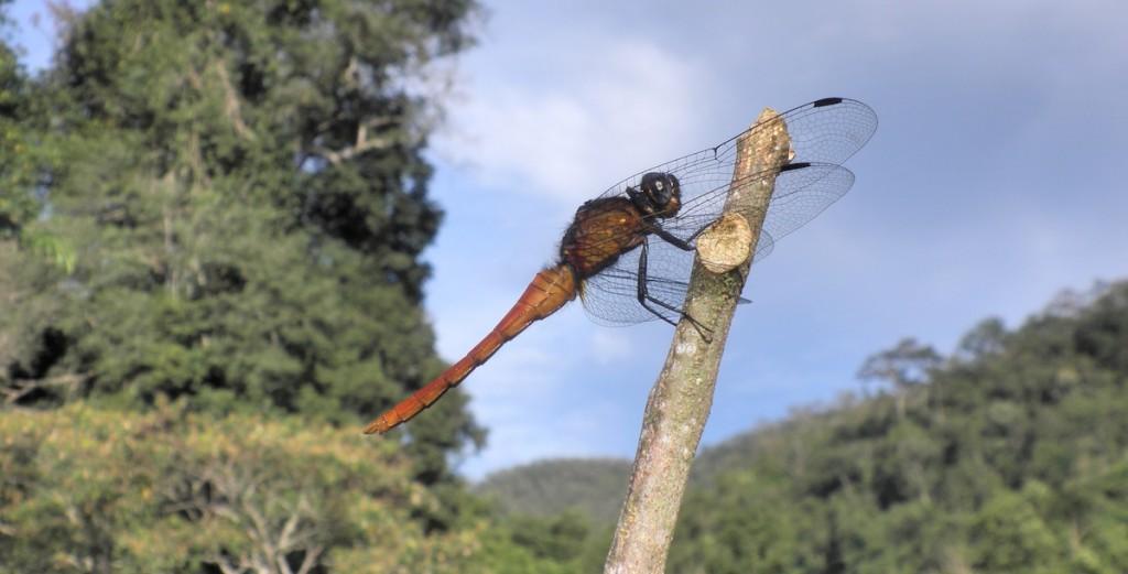 Eine riesige Libelle in Thailand
