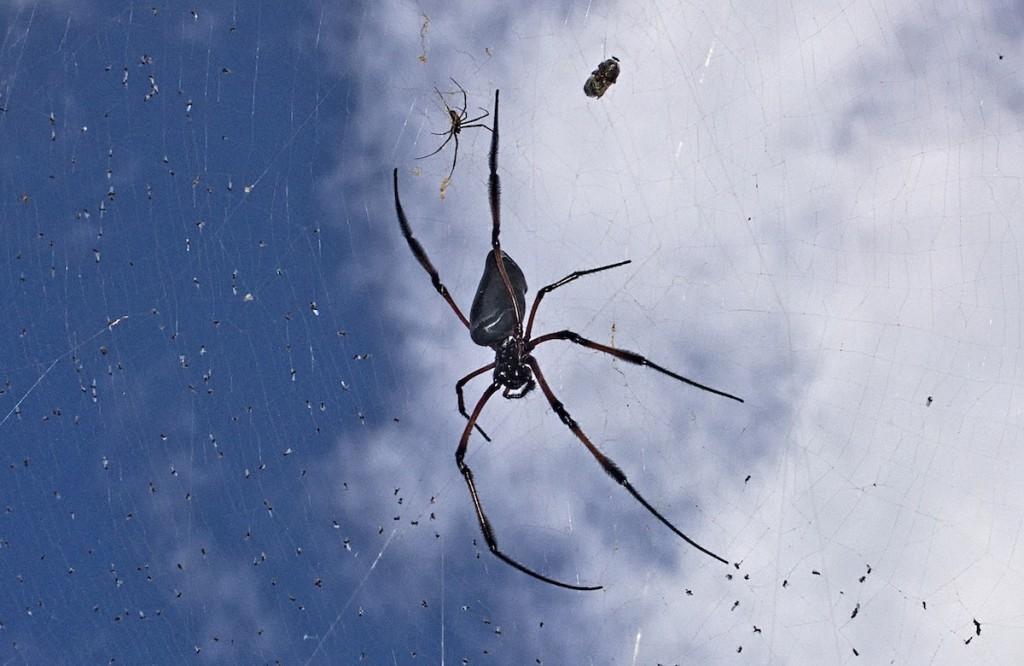 Riesen-Spinne