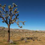 Joshua Tree Nationalpark – mehr als komische Bäume